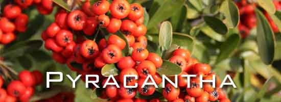 berries of pyracantha