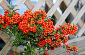 pyracantha red berries