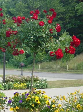 red potted tree rose
