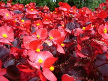 bed of wax begonias in bloom