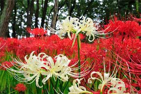 red and white spider lily