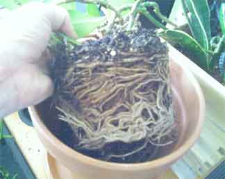 a pot full of roots ready to repot