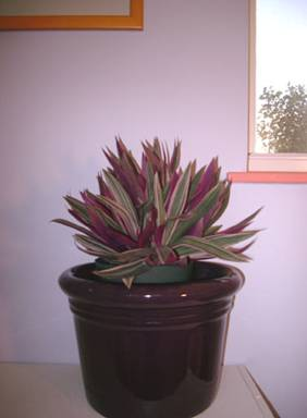 Tradescantia spathcea tricolor rhoeo oyster Plant
