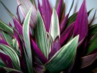rhoeo tricolor Tradescantia spathcea Oyster Plant