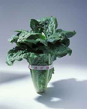 Romaine lettuce measured and ready for a salad