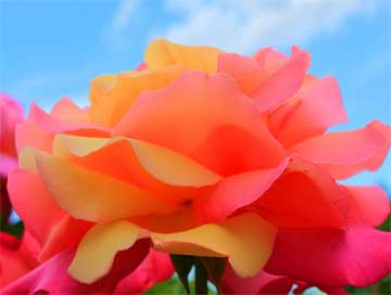 colorful rose bloom