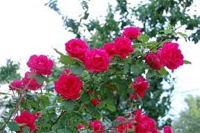 roses need spring pruning