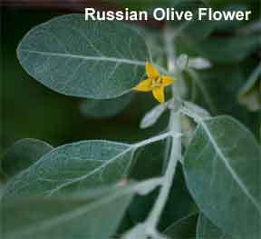 Flower of the Russian Olive
