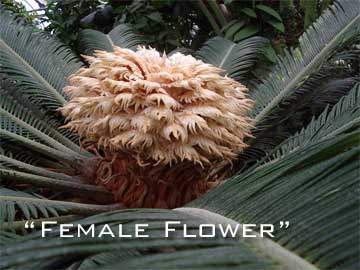 Female flower on Cycas revoluta