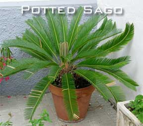Potted sago in clay