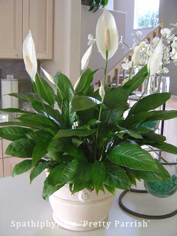 spathiphyllum in flower decorative container
