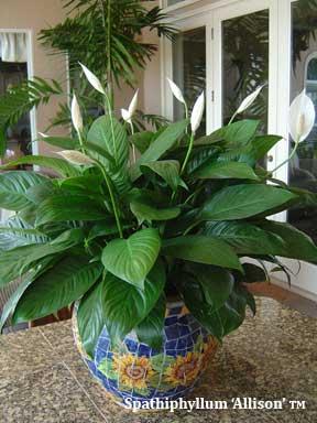 Spathiphyllum Allison TM