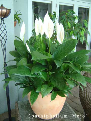 Flowering peace lily - Spathiphyllum MoJo