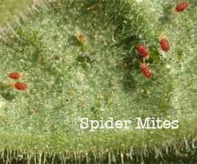 Spider Mites up close on african violet