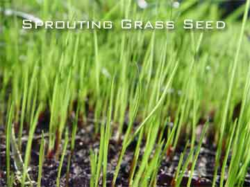grass seed sprouting