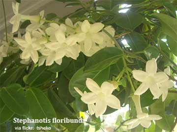 stephanotis floribunda in flower