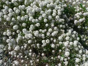 sweet alyssum as a ground cover