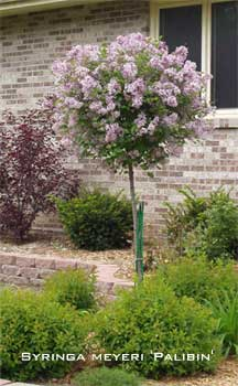 Blooming Dwarf Korean lilac tree - select palibin
