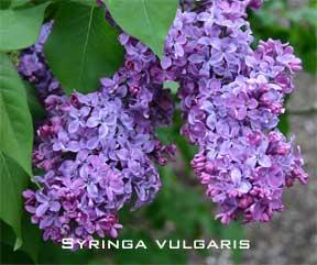 Blooming syringa vulgaris Congo