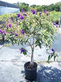Tibouchina urvilleana growing in pot