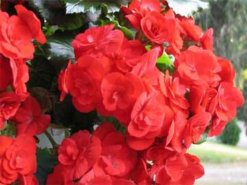 Blooming red tuberous begonia