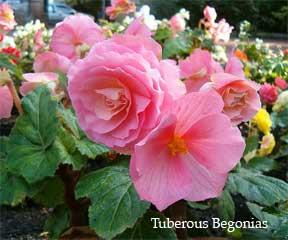 Flowering Pink Tuberous Begonia