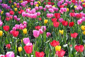Field of Tulip Bulbs Blooming