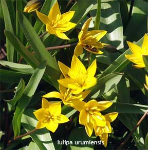 yellow flowering Tulipa urumiensis