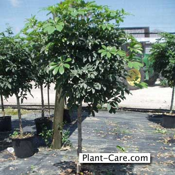 PlantFiles: Picture #7 of Hawaiian Umbrella Tree, Dwarf Umbrella