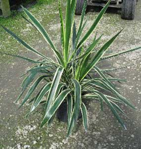yucca almost comes variegated