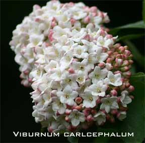 Blooming viburnum carlcephalum