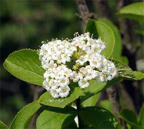 Viburnum flowering in the landscape