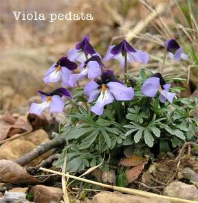 flowering Viola Pedata - Birdsfoot Violet