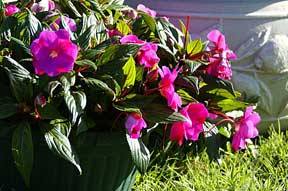 Colorful pot of New Guinea Impatiens