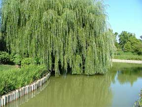weeping willow at water line