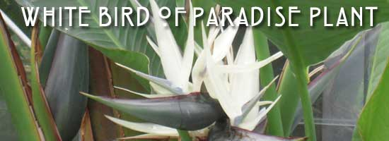 flower of white bird of paradise