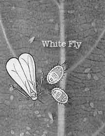 White Fly