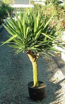 yucca tree branched cane