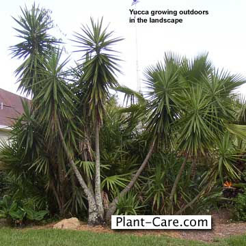 yucca growing in Florida outdoors in the landscape